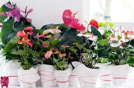zimmerpflanzen produktpalette tuincentrum dani ls. Black Bedroom Furniture Sets. Home Design Ideas